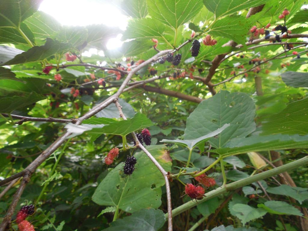 【桑の実で果実酒】桑の木の見つけ方と採集方法、おすすめレシピ