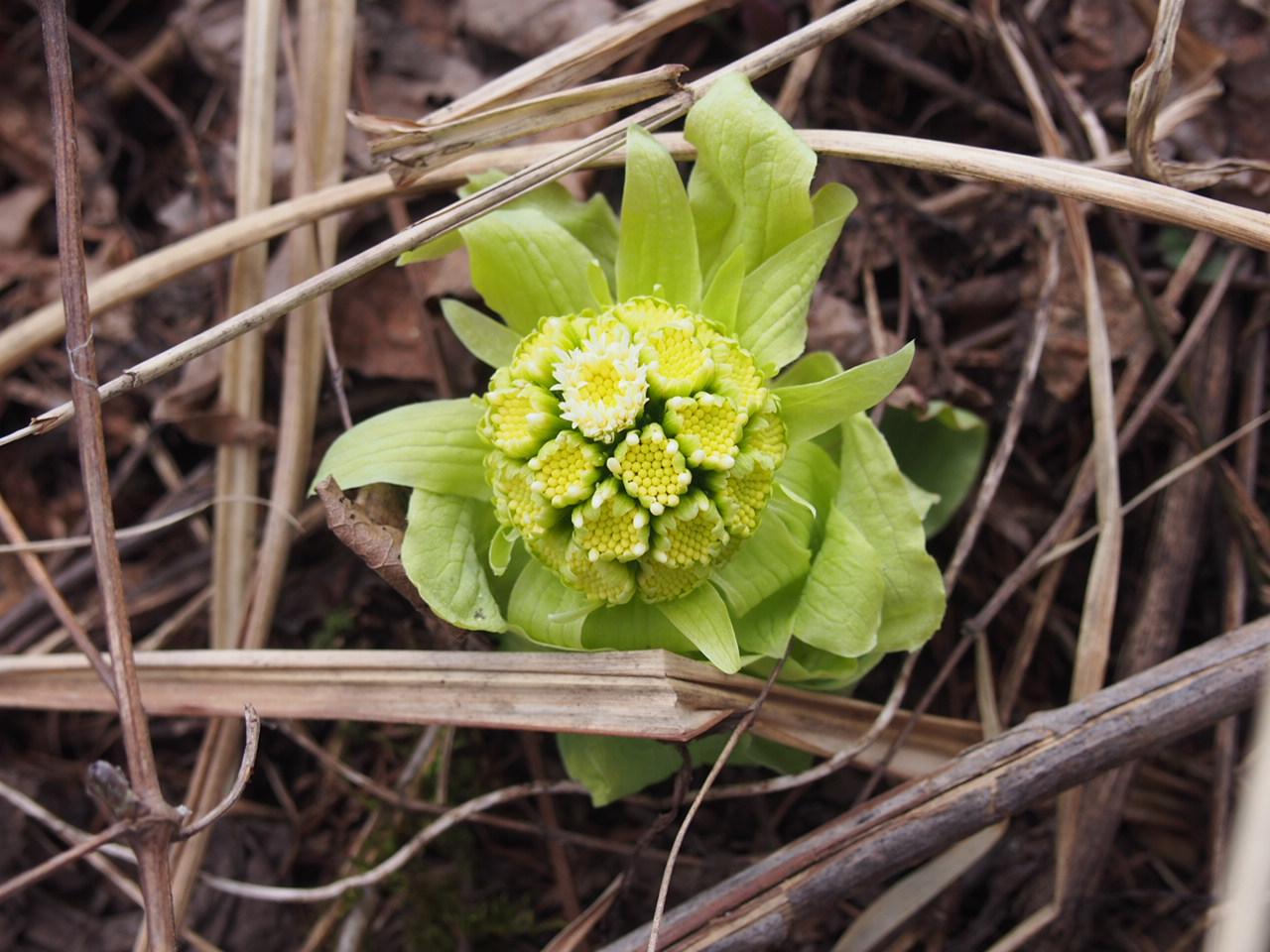 デトックス効果あり!早春の山菜ふきのとうの採取方法とレシピ
